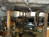 Award winning town cows