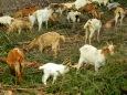 Naughty chomping goats!