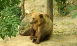 A contemplative Bern bear