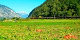 Pumpkin picking in Haiming as a freight train goes by