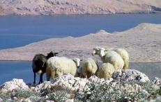 Pag sheep