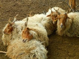 Slumbering Rakka sheep