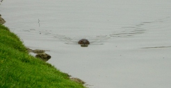 Beaver in the Seine