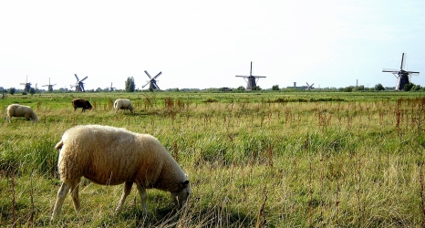 Kinderdijk sheep grazing