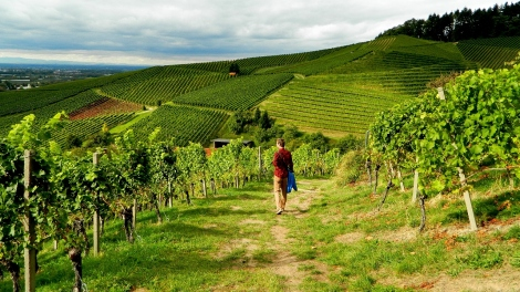 Ortenau vineyard