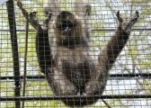 A randy gibbon