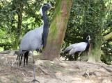 Demoiselles cranes