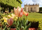 Tulips to Petit Trianon