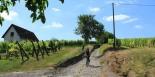 Down through the vineyards