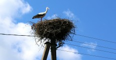 Guarding stork