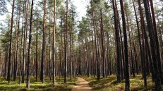 Pine forest path