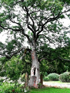 Ancient tree at Alvasta