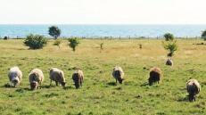 Skåne seaside sheep
