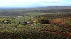 Olive groves in Guadalquivir Valley