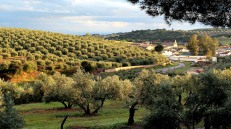 Olive groves in watery sunset