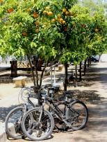 Bikes under orange tree