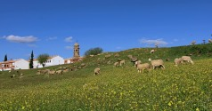 Manchego sheeps grazing in Baeza