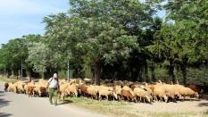 Urban goats and sheep