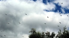 Vultures circling above
